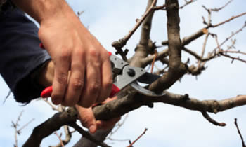 Tree Pruning in Bakersfield CA Tree Pruning Services in Bakersfield CA Quality Tree Pruning in Bakersfield CA